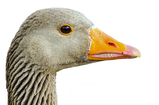 Greylag, Isolated, Pets, Neck - Free image - 315791