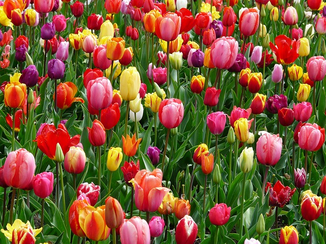 Tulips, Bed, Colorful, Color - Free image - 52125