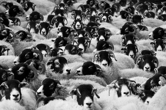 Sheep, Agriculture, Animals - Free image - 17482