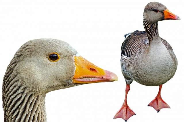 Greylag, Isolated, Pets, Neck - Free image - 315792