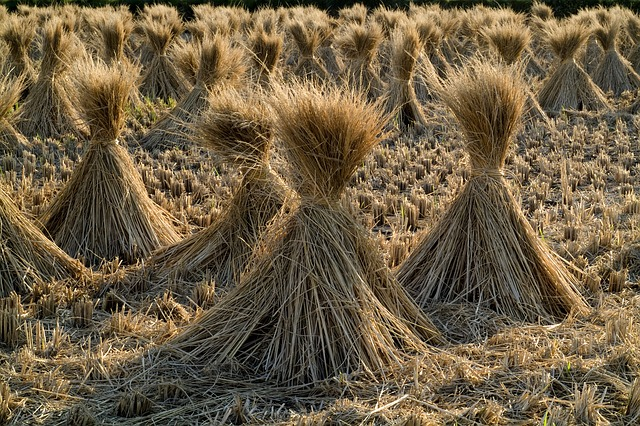 Straw, Rice, Grain, Field, Farm - Free image - 230112