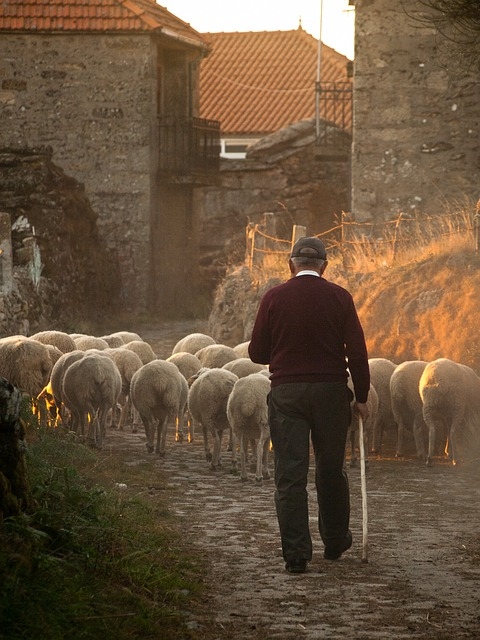 Rural, Farmer, Sheep - Free image - 298650