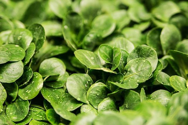 Salad, Green, Frisch, Garden - Free image - 264826